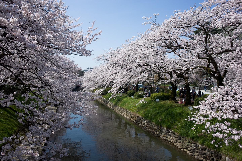 あちこちで、平年より早く桜が満開に